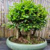 Chinese Elm - Large Group of 5 1 20200715 195104