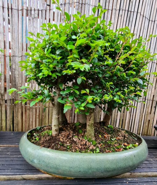 Chinese Elm - Large Group of 5 2 20200715 195104 scaled