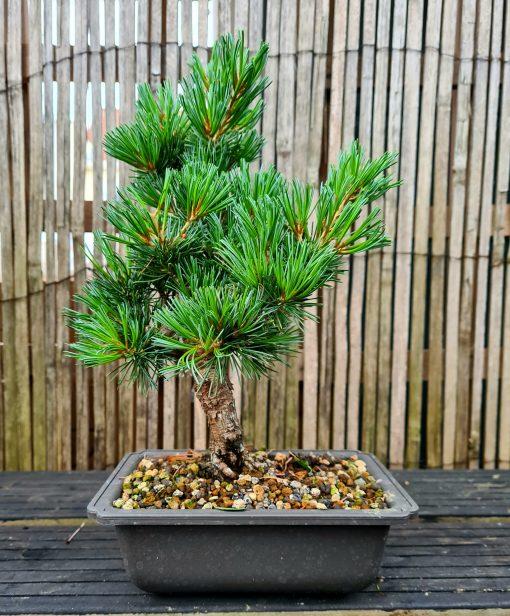 Japanese White Pine 3 20200715 195640 scaled