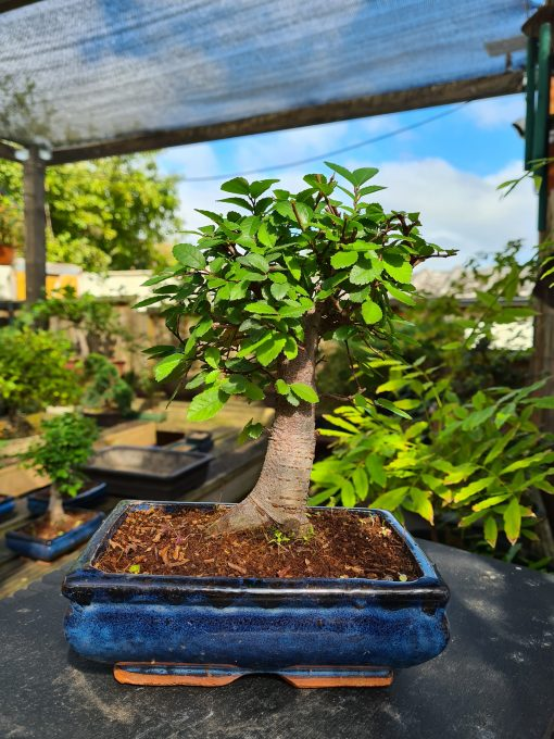 Chinese Elm - Broom (Small) 2 20210828 110544 scaled